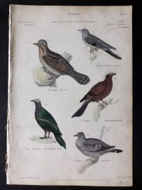 Richardson 1862 HC Bird Print. New Hollan Pigeon, Stock Dove, Cuckoo, Wryneck